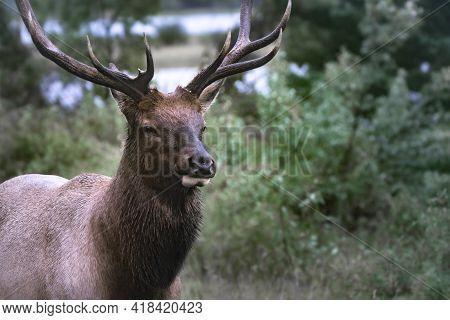 Close Up Of Wapiti Elk Bull Head On A Rainy Day In Canadian Rockies. Cervus Canadensis In Jasper Nat
