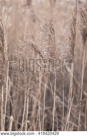 Floral Minimal Home Interior Boho Style. Fall Composition With Dry Golden Reeds. Abstract Natural Ba