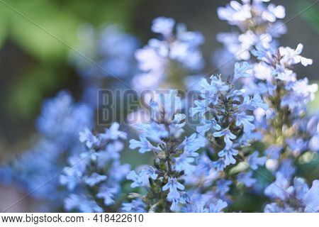 Delicate Blue Color Of The Inflorescence Bugleweed, Shot At A Shallow Depth Of Field. Inflorescences