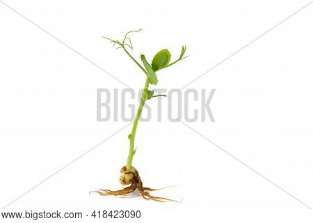 Young Green Pea Sprout Isolated On White Background. Organic Pea Sprouts, Microgreens