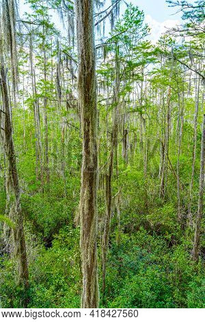 Forest Swamp Land In Okefenokee Swamp Park, Southern Georgia.