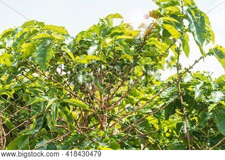 Green Coffee Fruits Of A Coffee Plantation, Brazilian Mineiro Coffee Cultivated At Minas Gerais Stat