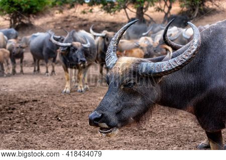 Close Up Of Water Buffalo (thai Buffalo) At Countryside In Southern Of Thailand. A Picture Of A Buff