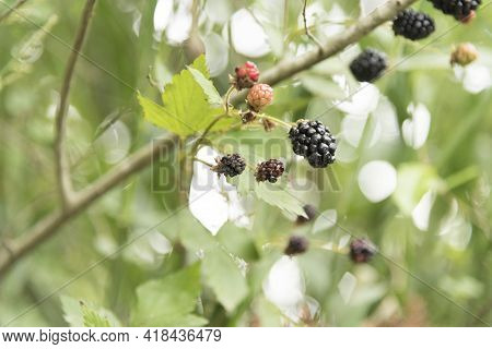 Blackberry, Rubus Fruticosus, Bramble With Ripening And Ripe Berries, In Tigre, Buenos Aires, Argent