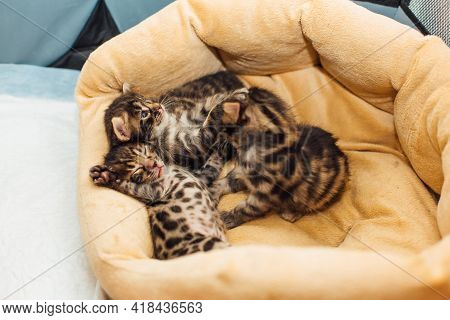 Closee-up Bengal Charcoal Kittens Laying On The Pillow