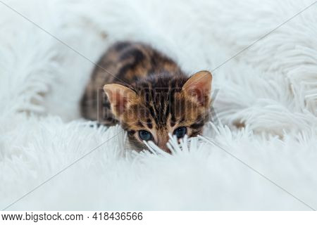 Cute Dark Grey Charcoal Bengal Kitten On A Furry White Blanket.