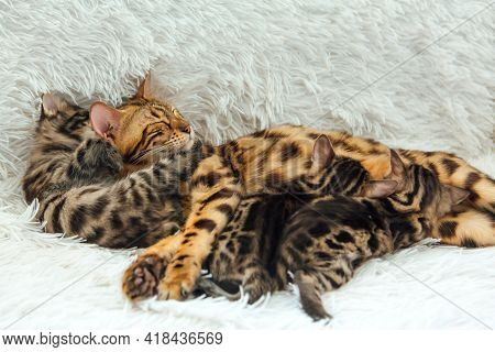 Bengal Cat Feeds Her Little Kittens With Breast