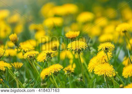 Field Of Yellow Dandelions. Taraxacum Officinale, The Common Dandelion