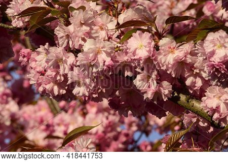 Japanese Cherry Blossoms Nice Spring Pink Flower Close Up