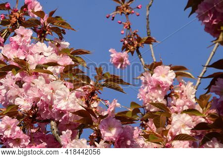 Japanese Cherry Blossoms The Nice Spring Pink Flower Close Up