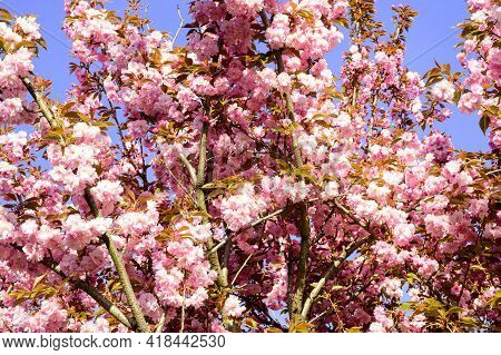 Japanese Cherry The Very Nice Pink Spring Flowers