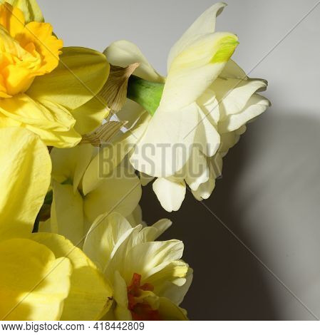 Narcissus The Very Nice Spring Flowers Close Up