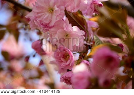 Japanese Cherry Blossoms The Nice Spring Flowers Close Up