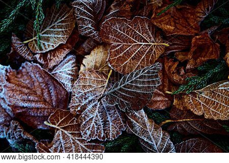 Fall leaves with hoarfrost. Close-up. Nature background