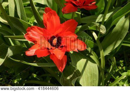 Tulip The Very Nice Red Spring Flower In My Garden