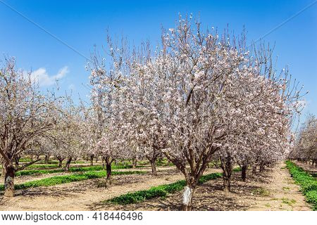 Early spring in Israel. Grove of almond trees in spring bloom. February. Picturesque alley of flowering almond trees. Warm sunny february day.