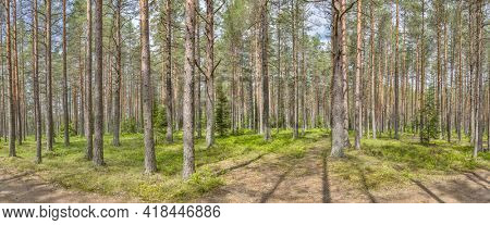 spring forest with high pines