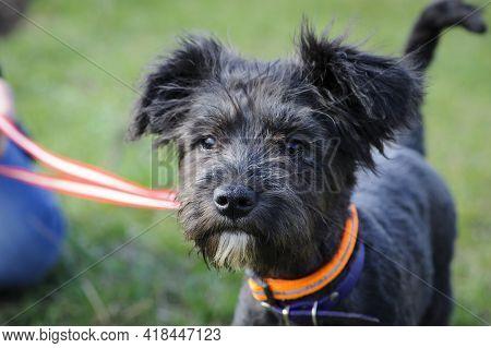 Black Dog. Small Black Puppy, On A Leash. Portrait, Head Close-up. Schnauzer. Beautiful Dog, Groomin
