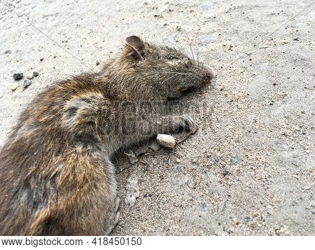 Dead Grey Rat Covered With Sand Lies On The Road. Rattus Norvegicus. Close-up