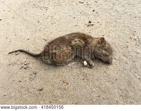 Dead Grey Rat In The City. Rattus Norvegicus. Urban Scene On The Road