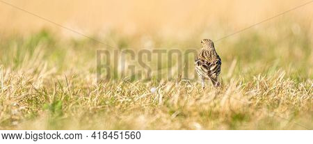 Panorama Of A Tawny Pipit, Meadow Pipit Sitting In The Grass Of A Meadow. Small Brown Passerine Bird
