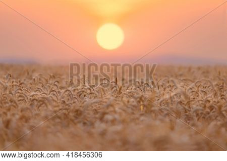 The yellow Wheatfield at Sunset, shallow depth of field, Israel,  Ears of wheat at sunrise