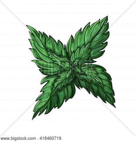Green Mint Leaves Isolated On White Background. Colored Sketch Of Mint Branch. Illustration Of Fresh