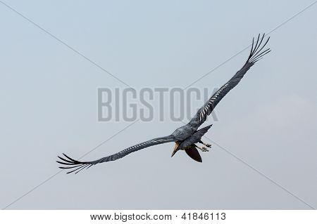 A Marabou Stork scavenger bird in mid flight near lake Koka in Ethiopia. poster