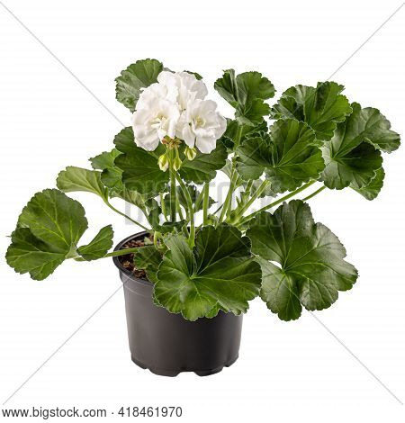 Pelargonium Plant With White Flower In Flower Pot Isolated On White Background