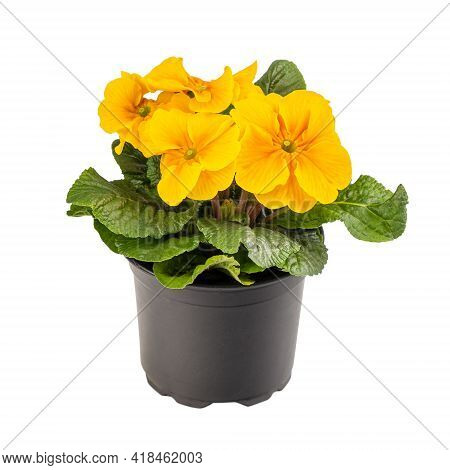 Yellow Primrose Or Primula Vulgaris In Flower Pot Isolated On White Background