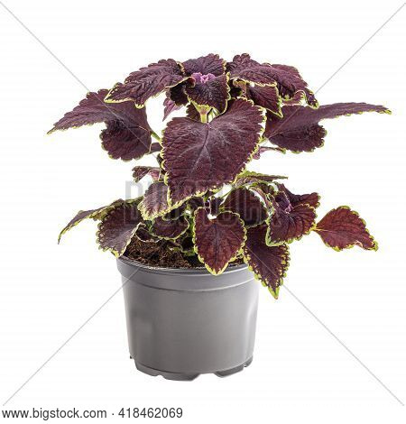 Dark Maroon Coleus With Green Border In Flowerpot Isolated On White