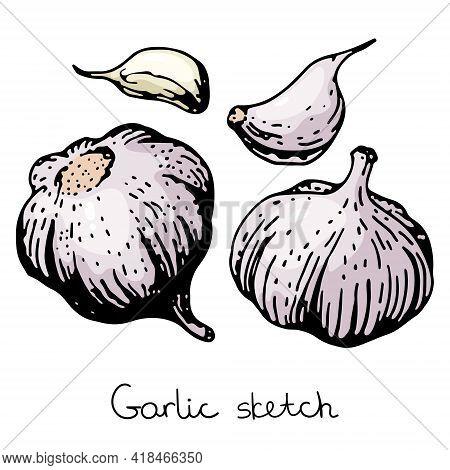 Garlic Sketch Illustration Vector Hand Drawn Set Of Garlic