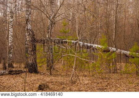 Broken tree in a birch grove. Birch trees in the spring forest. Beautiful spring landscape.