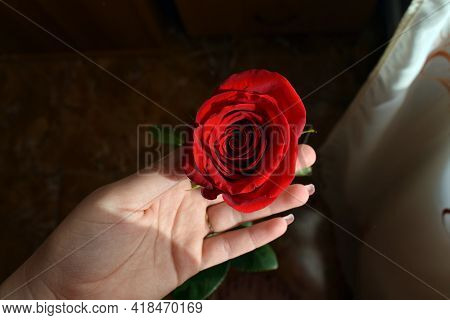 Person Holding A Rose Beautiful Red Flower In The Hand Of Man Plant Bloom Blossom Wedding Roses Birt