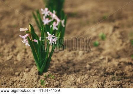 Beautiful Pink  Hyacinth Flowers In A Spring Garden. Springtime Blooming Flowers. Selective Focus. B