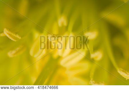 Closeup Of Yellow, With Green Center Of Lenten Rose, Helleborus Flowers. Macro