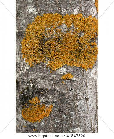 aspen tree bark texture