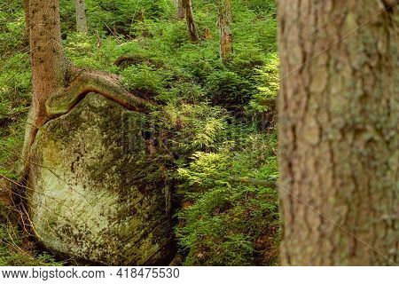 Roots Of Trees Which Grows On A Stones In A Deep Forest In Table Mountain. Natural Parkland. Nature