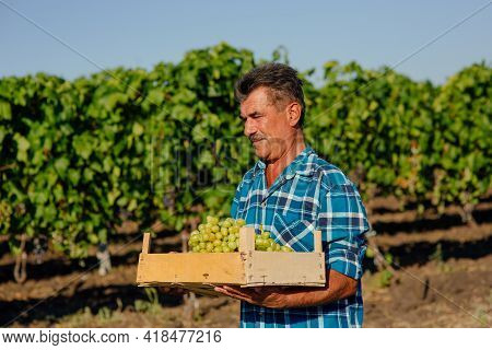 A Middle Aged Winemaker Carrying A Wooden Box Of Grapes. Organic Farming And Wine-making In The Hill
