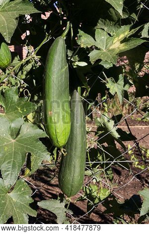 Immature Luffa Fruits To Eat In The Garden Fence