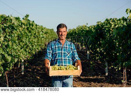 Vineyard Farmer Harvesting Grapes In Vineyard During Wine Harvest Season In Autumn. The Harvesting.