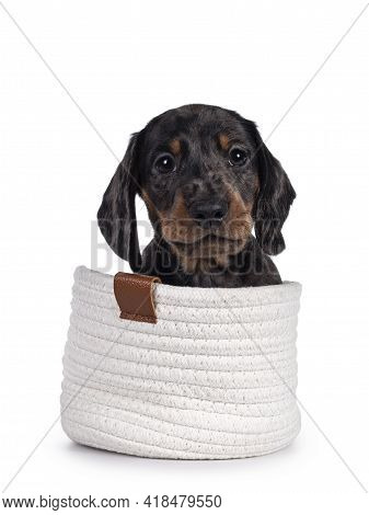 Cute Dachshund Aka Teckel Pup, Sitting In Little White Knitted Basket. Looking Curious Into Camera.