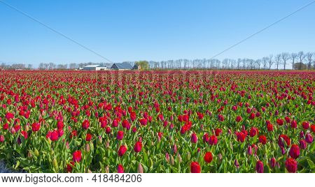 Colorful Tulips Along A Plowed Field With Furrows In Sunlight Below A Blue White Cloudy Sky In Sprin