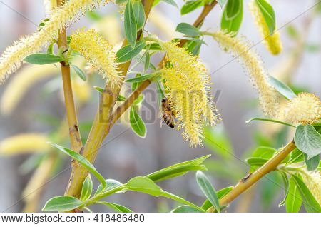 Bee Collecting Pollen From Flower. Bee Gathering Nectar. Flying Honeybee Collecting Pollen At Yellow