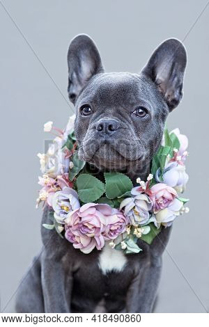Beautiful  Blue Coated French Bulldog Dog With Pink Flower Collar In Front Of Gray Background