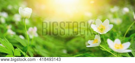 Dreamy White Spring Anemone Flower Bloom, Grass, Close-up Against Sunlight Panorama. Spring Floral G