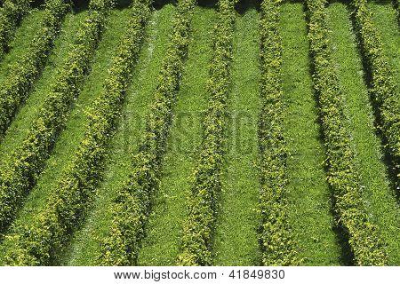 English Vineyard. Surrey. England
