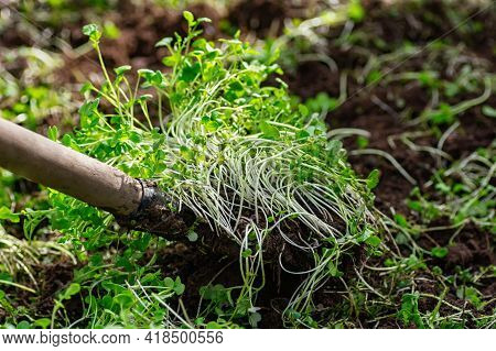 Improving Soil Structure With Green Manure. Mustard Crops. The Concept Of Organic Green Fertilizers