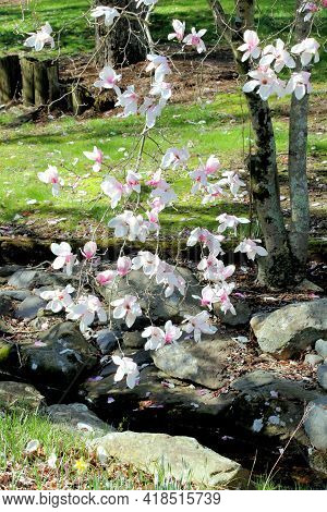 Beautiful White Flowering Dogwood Tree Growing On The Shore Of A Tiny Brook.