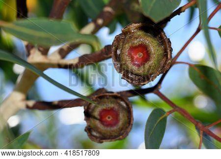 Large Gum Nut Fruits Of The Australian Native Mallee Gum Tree Eucalyptus Erythrocorys, Family Myrtac